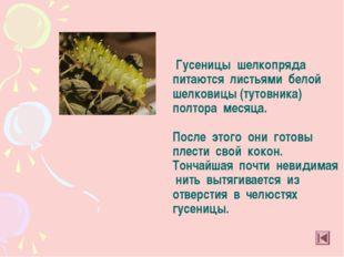 Гусеницы шелкопряда питаются листьями белой шелковицы (тутовника) полтора ме