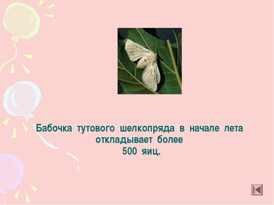 Бабочка тутового шелкопряда в начале лета откладывает более 500 яиц.