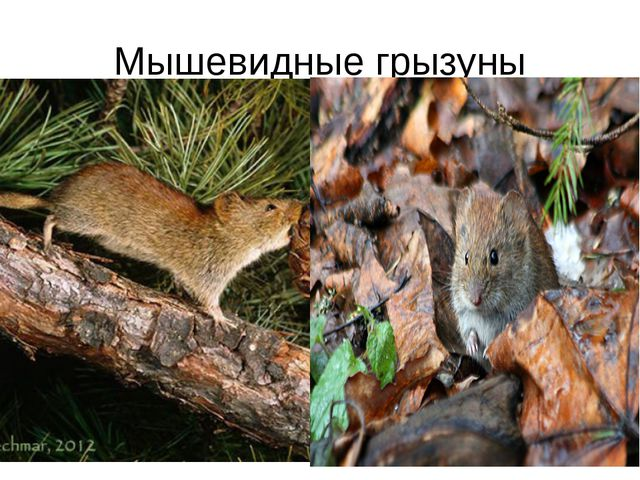 Мышевидные грызуны
