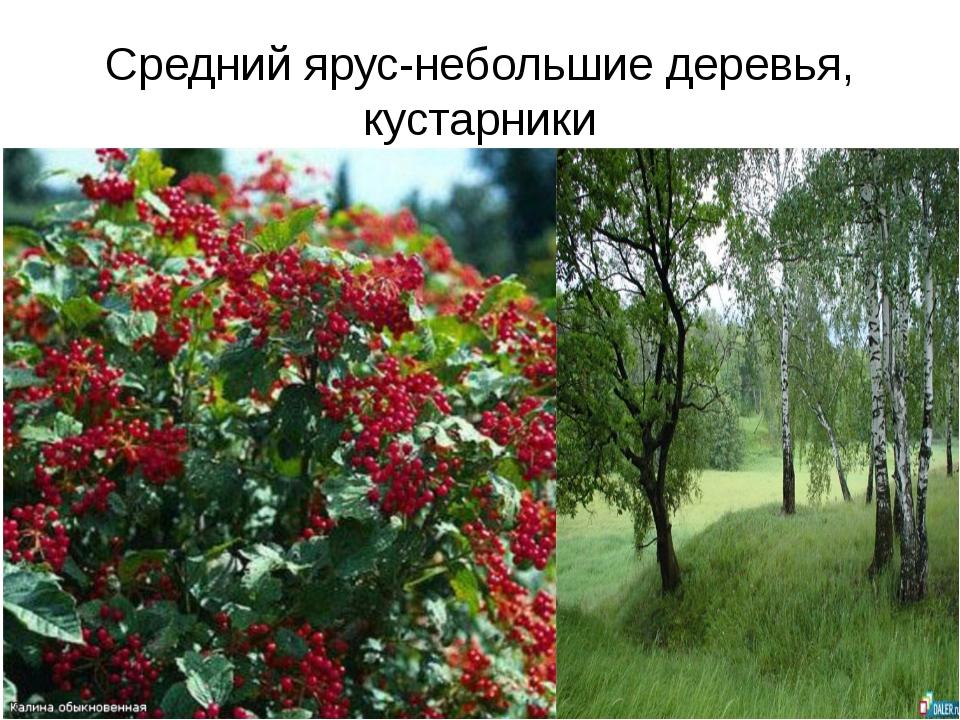 Средний ярус-небольшие деревья, кустарники