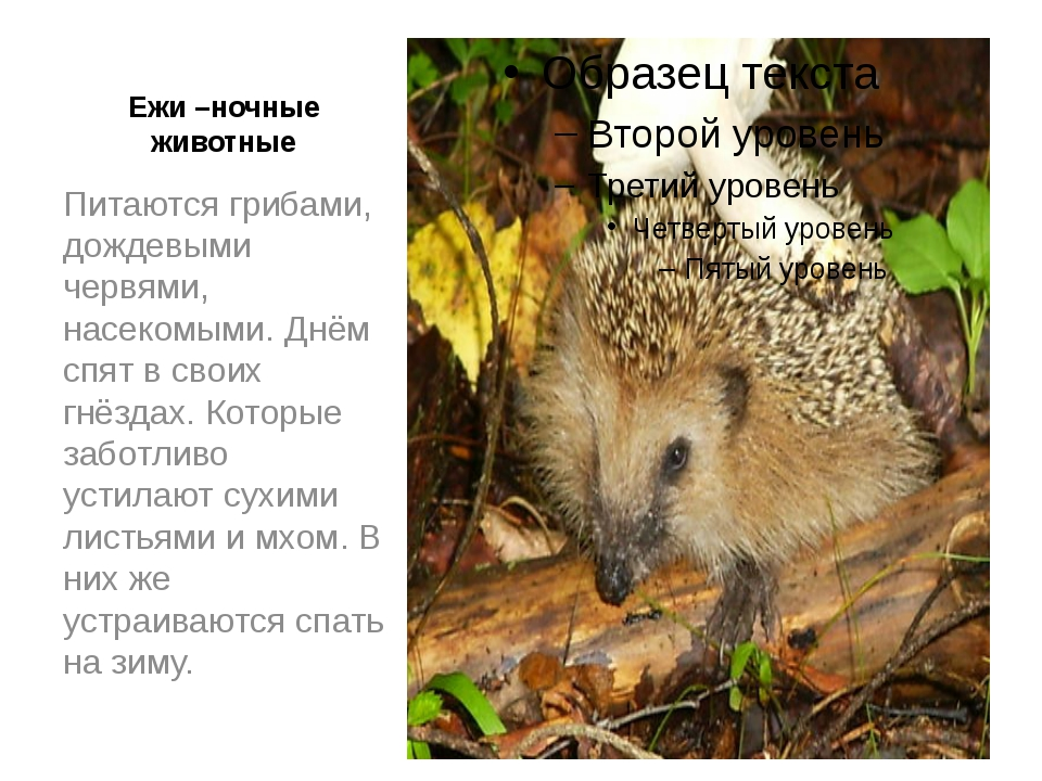 Ежи –ночные животные Питаются грибами, дождевыми червями, насекомыми. Днём сп...