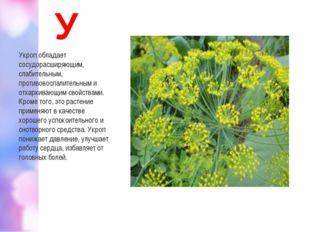 У Укроп обладает сосудорасширяющим, слабительным, противовоспалительным и отх