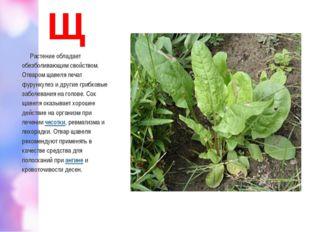 Щ Растение обладает обезболивающим свойством. Отваром щавеля лечат фурункулез