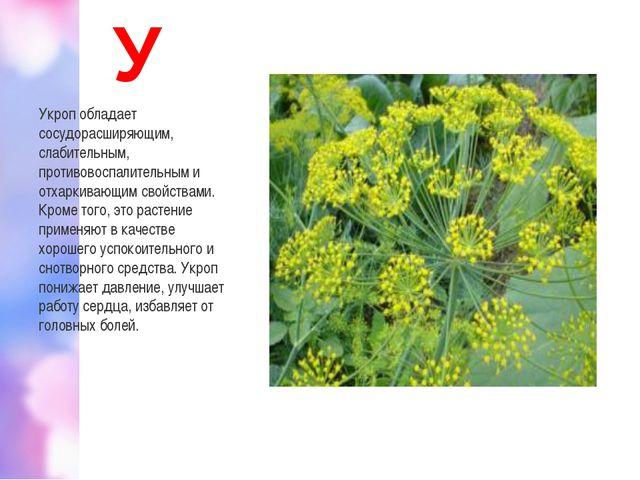 У Укроп обладает сосудорасширяющим, слабительным, противовоспалительным и отх...