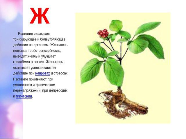 Ж Растение оказывает тонизирующее и болеутоляющее действие на организм. Женьш...
