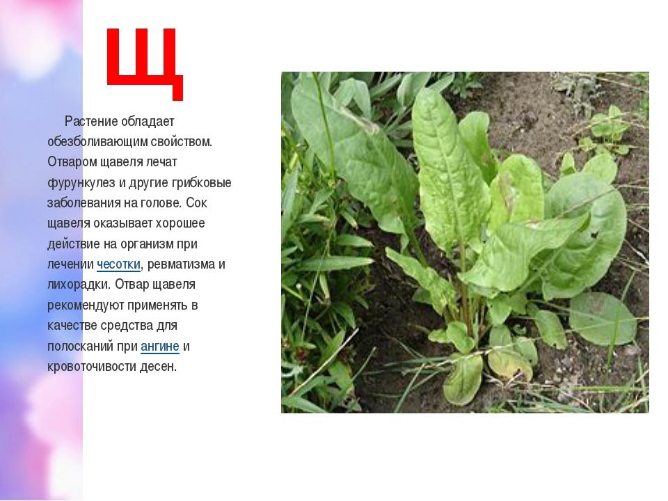 Щ Растение обладает обезболивающим свойством. Отваром щавеля лечат фурункулез...