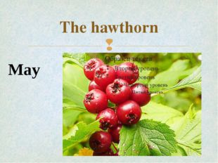 The hawthorn May 