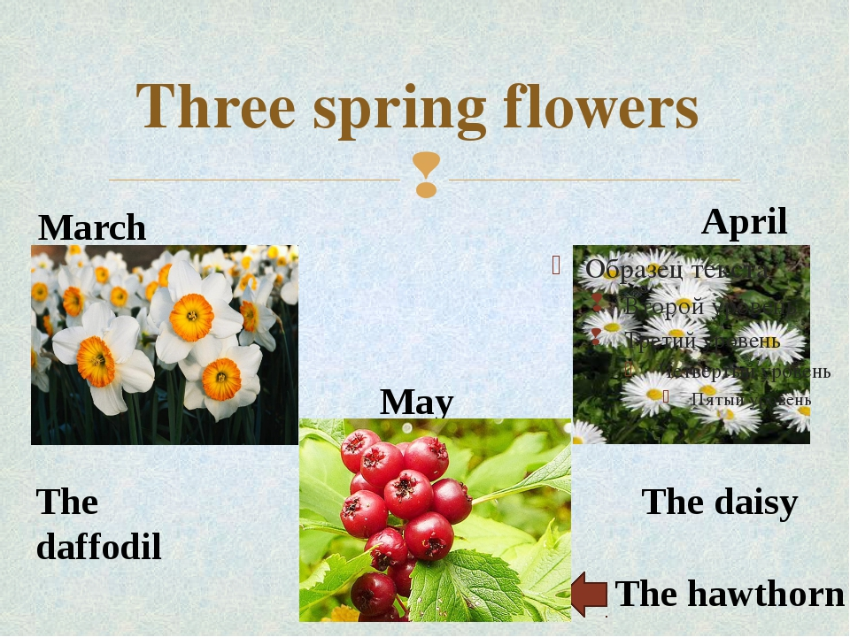 Three spring flowers March April May The hawthorn The daisy The daffodil 