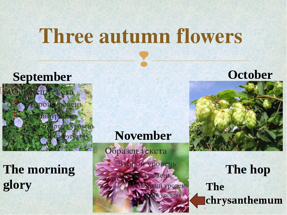 Three autumn flowers September October November The chrysanthemum The hop The...