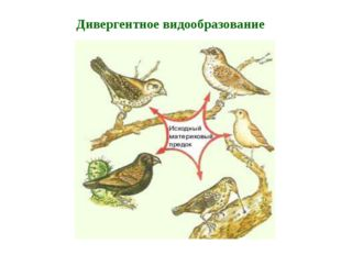 Пути видообразования (Э.В. Майр, 1964) филетическое гибридогенное дивергентно