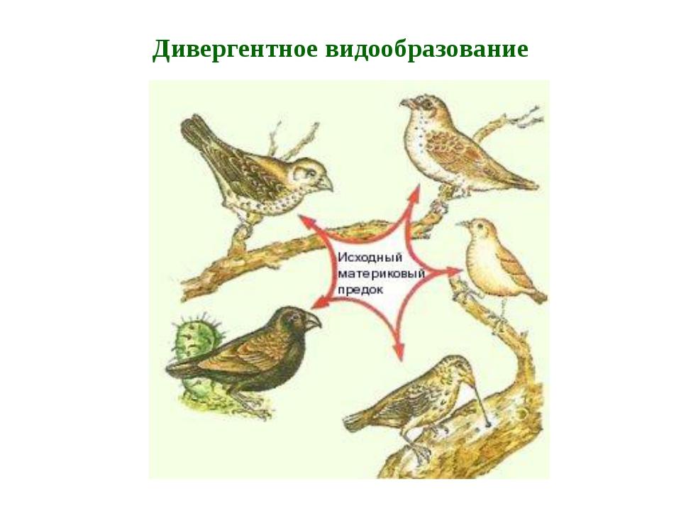 Пути видообразования (Э.В. Майр, 1964) филетическое гибридогенное дивергентно...