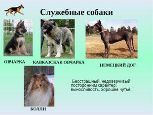 Служебные собаки Бесстрашный, недоверчивый посторонним характер, выносливость