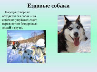 Ездовые собаки Народы Севера не обходятся без собак – на собачьих упряжках ез