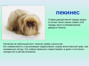пекинес Собака декоративной породы родом из Китая. Много веков собаки этой по