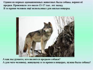 Одним из первых одомашненных животных была собака, вернее её предки. Произошл