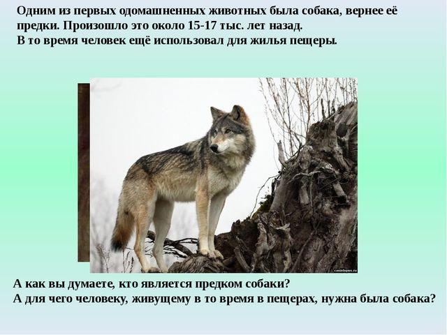 Одним из первых одомашненных животных была собака, вернее её предки. Произошл...