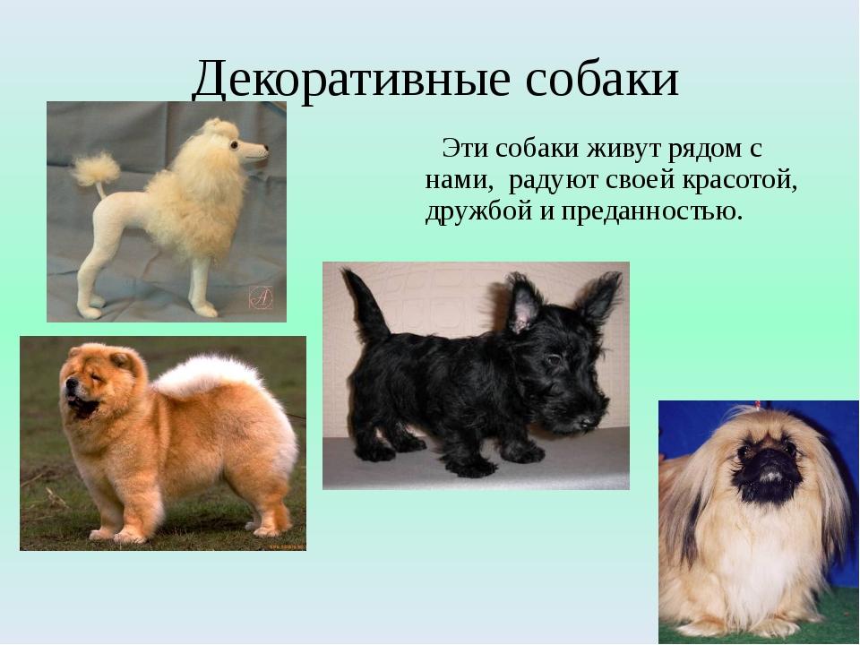 Декоративные собаки Эти собаки живут рядом с нами, радуют своей красотой, дру...