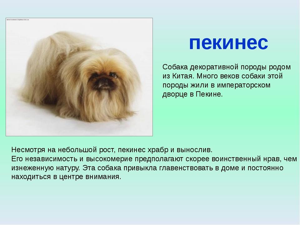 пекинес Собака декоративной породы родом из Китая. Много веков собаки этой по...