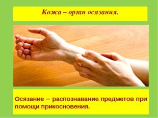 Кожа – орган осязания. Осязание – распознавание предметов при помощи прикосно