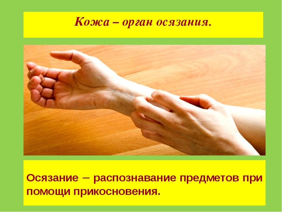 Кожа – орган осязания. Осязание – распознавание предметов при помощи прикосно...
