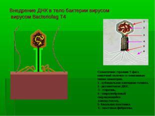 Внедрение ДНК в тело бактерии вирусом вирусом Bacteriofag T4 Схематичное стро