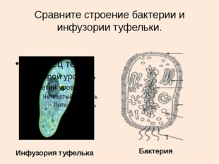 Сравните строение бактерии и инфузории туфельки. Инфузория туфелька Бактерия