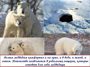 Белым медведям комфортно и на суше, и в воде, и зимой, и летом. Потомство поя