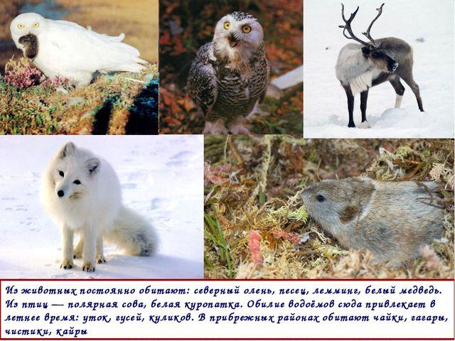 Из животных постоянно обитают: северный олень, песец, лемминг, белый медведь....
