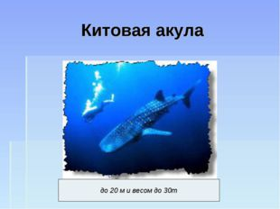 Китовая акула до 20 м и весом до 30т