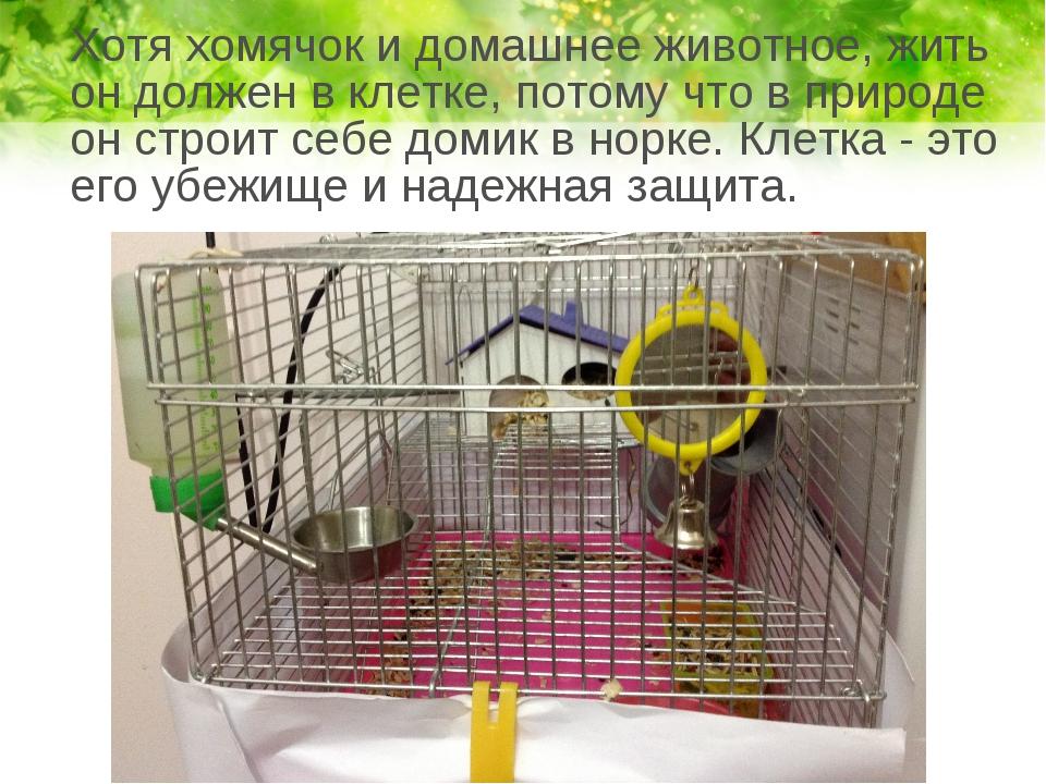 Хотя хомячок и домашнее животное, жить он должен в клетке, потому что в прир...