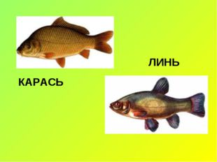КАРАСЬ ЛИНЬ