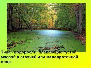Тина - водоросли, плавающие густой массой в стоячей или малопроточной воде.