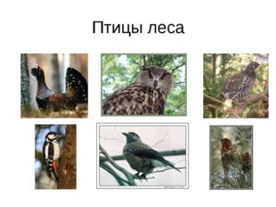 Птицы леса