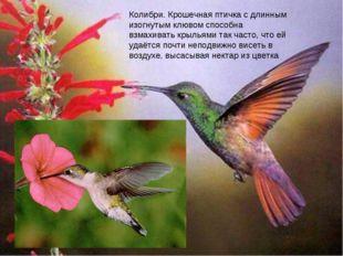 колибри Колибри. Крошечная птичка с длинным изогнутым клювом способна взмахив