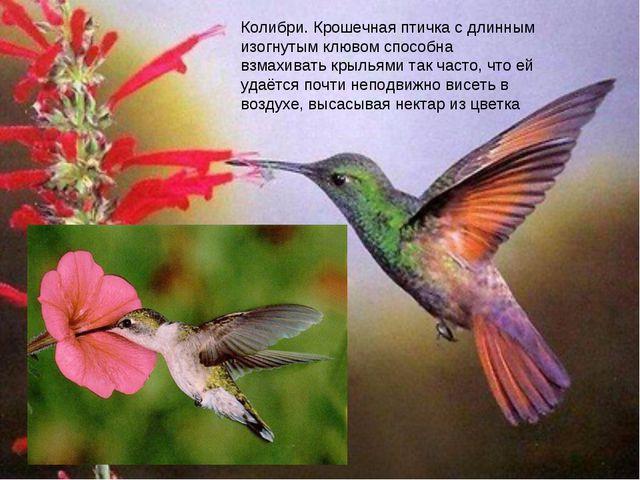 колибри Колибри. Крошечная птичка с длинным изогнутым клювом способна взмахив...