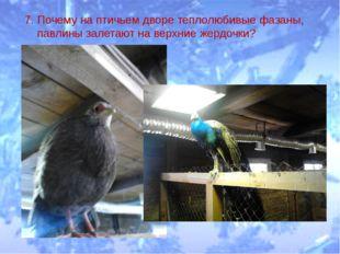 7. Почему на птичьем дворе теплолюбивые фазаны, павлины залетают на верхние ж