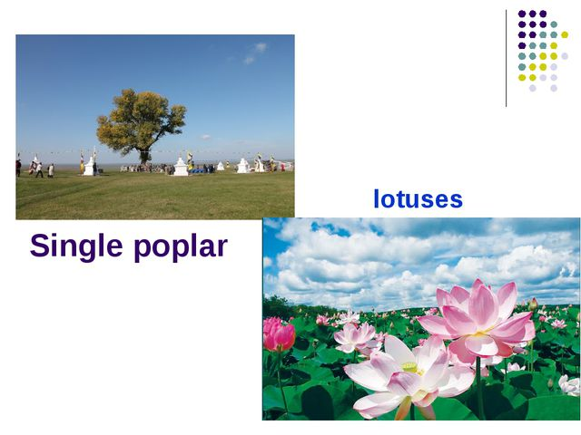Single poplar lotuses