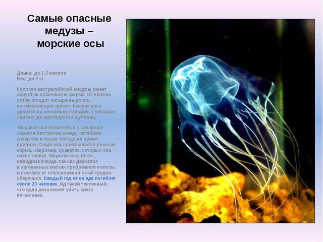 Самые опасные медузы – морские осы Длина: до 1,5 метров Вес: до 3 кг Колокол...