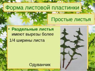 Простые листья Раздельные листья имеют вырезы более 1/4 ширины листа Одуванчи
