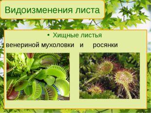 Хищные листья венериной мухоловки и росянки Видоизменения листа