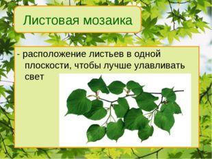 - расположение листьев в одной плоскости, чтобы лучше улавливать свет Листова