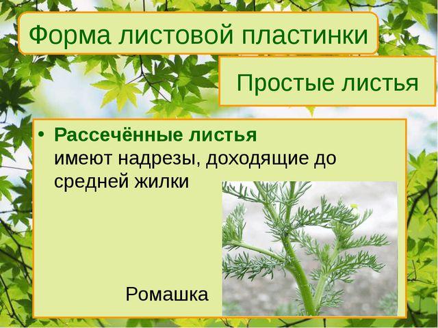Простые листья Рассечённые листья имеют надрезы, доходящие до средней жилки...