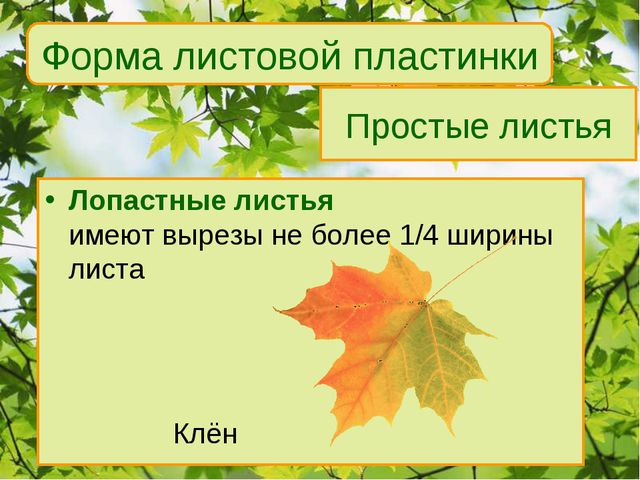 Простые листья Лопастные листья имеют вырезы не более 1/4 ширины листа Клё...