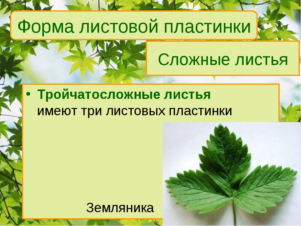 Сложные листья Тройчатосложные листья имеют три листовых пластинки Земляни...