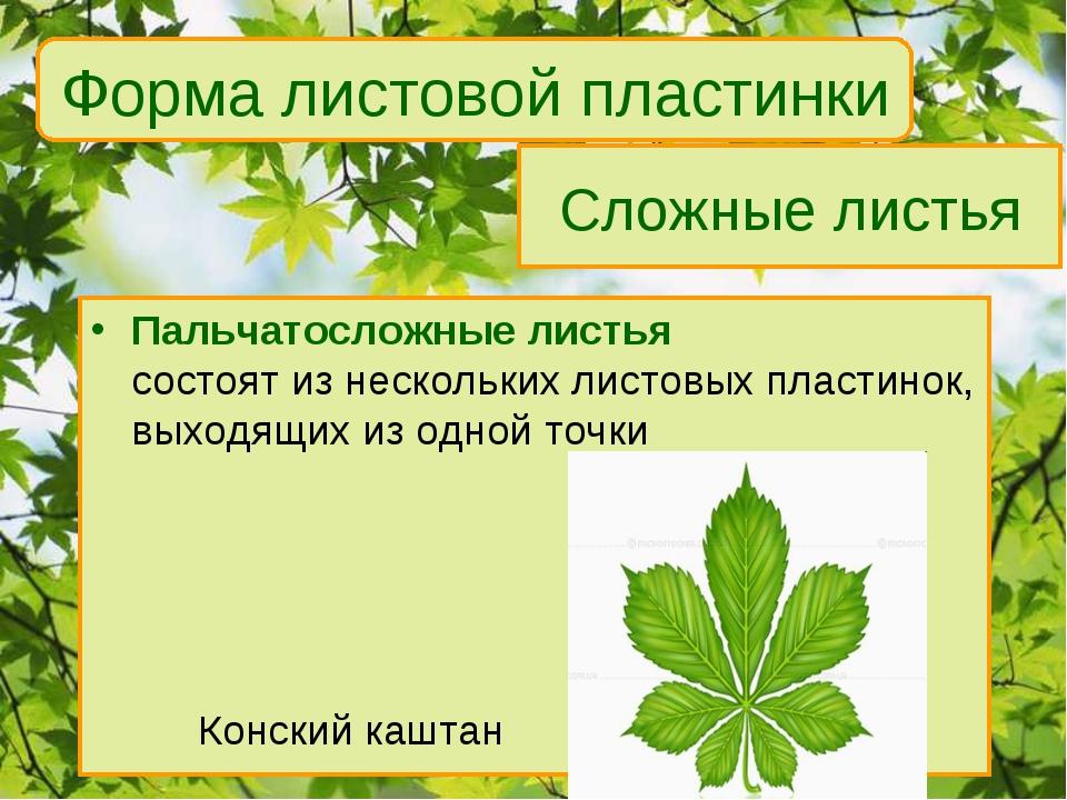 Сложные листья Пальчатосложные листья состоят из нескольких листовых пластино...