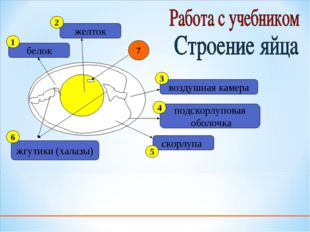 белок желток жгутики (халазы) подскорлуповая оболочка воздушная камера скорлу