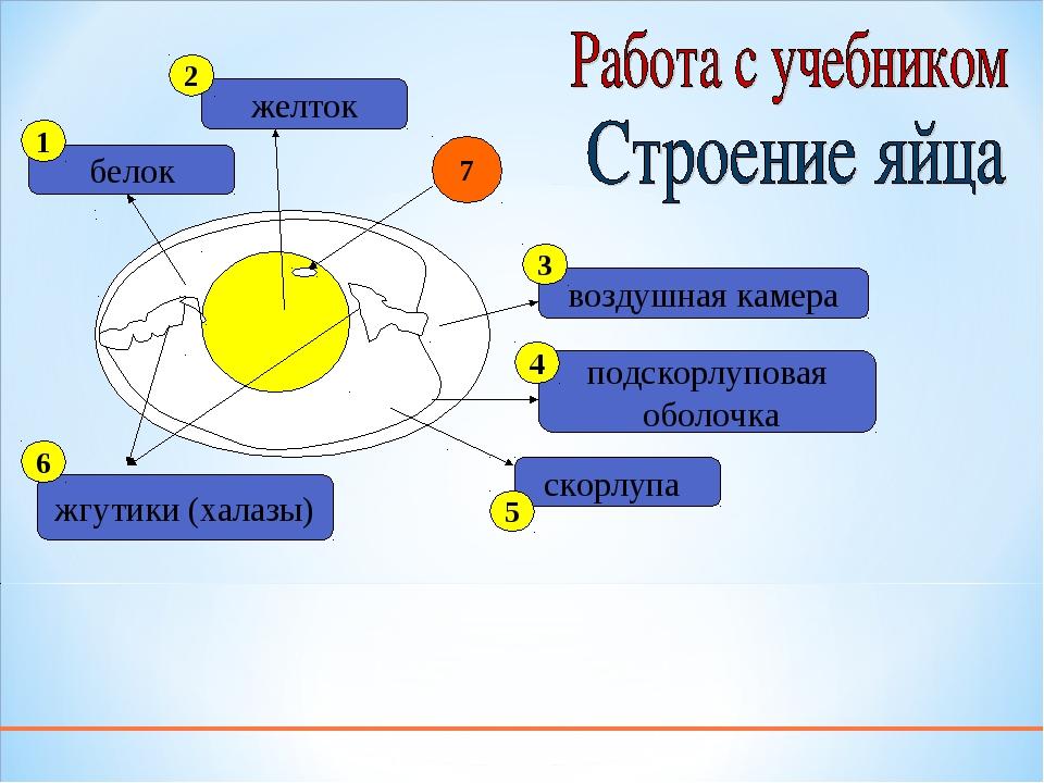 белок желток жгутики (халазы) подскорлуповая оболочка воздушная камера скорлу...