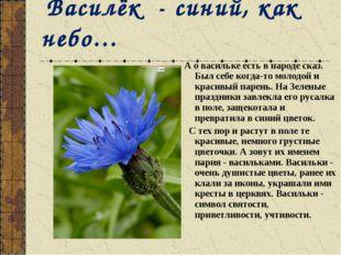 Василёк - синий, как небо… А о васильке есть в народе сказ. Был себе когда-т