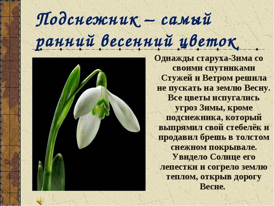 Подснежник – самый ранний весенний цветок Однажды старуха-Зима со своими спут...