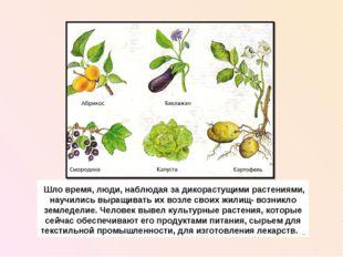 Шло время, люди, наблюдая за дикорастущими растениями, научились выращивать